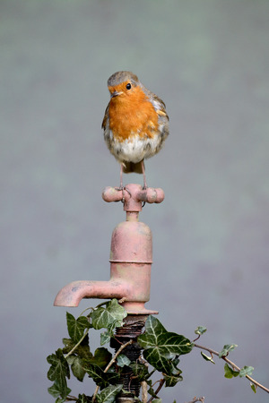 erithacus: Robin, Erithacus rubecula, single bird on rusty garden tap, Warwickshire, April 2016 Stock Photo