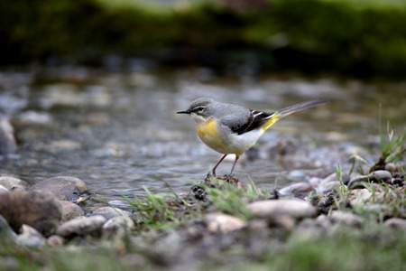 motacilla: Grey wagtail, Motacilla cinerea, single female by water, Warwickshire, April 2016 Stock Photo