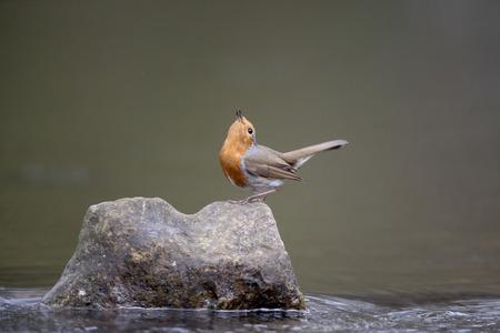 erithacus: Robin, Erithacus rubecula, single bird on rock in water displaying, Warwickshire, April 2016