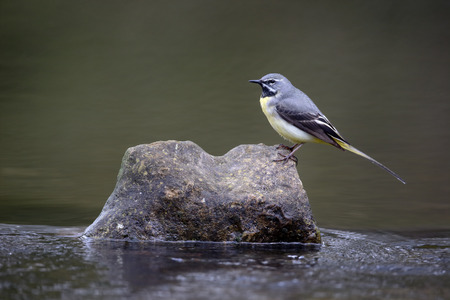 motacilla: Grey wagtail, Motacilla cinerea, single male by water, Warwickshire, April 2016