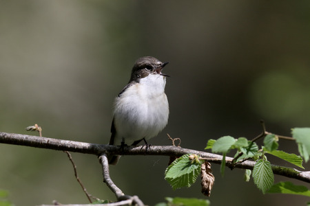 pied: Pied flycatcher, Ficedula hypoleuca, single male on branch, Worcestershire, May 2016 Stock Photo