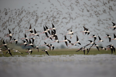 himantopus: Black-winged stilt, Himantopus himantopus, large flock in flight,  Hungary, May 2016