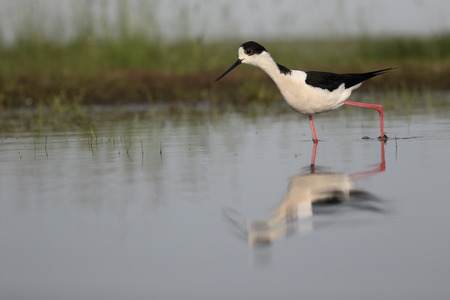 himantopus: Black-winged stilt, Himantopus himantopus, single bird in water, Hungary, May 2016