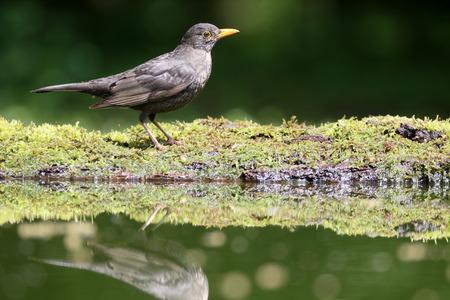 turdus: Blackbird, Turdus merula, single male by water, Hungary, May 2016