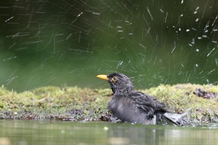 turdus: Blackbird, Turdus merula, single male in water, Hungary, May 2016