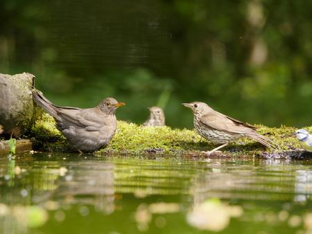 turdus: Blackbird, Turdus merula, single female with Song thrush in water, Hungary, May 2016