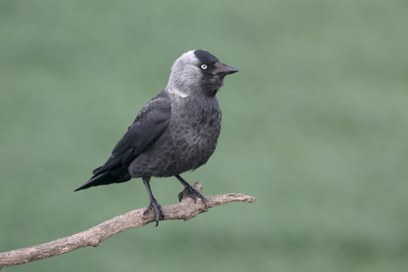 jackdaw: Jackdaw, Corvus monedula, single bird on branch, Hungary, May 2016 Stock Photo