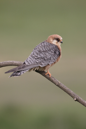 falco: Red-footed falcon, Falco vespertinus, single female on branch, Hungary, May 2016
