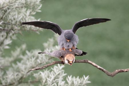 falco: Red-footed falcon, Falco vespertinus, pair mating, Hungary, May 2016