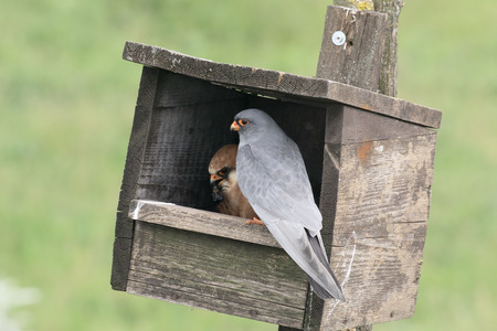 falco: Red-footed falcon, Falco vespertinus, pair in nest box, Hungary, May 2016