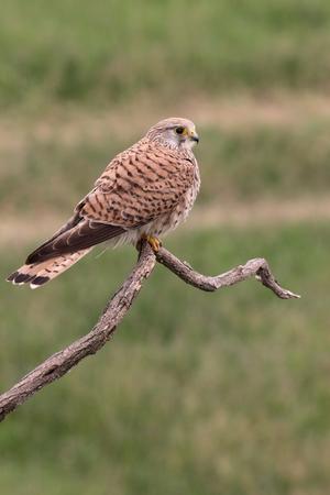 falco: Kestrel, Falco tinnunculus, single female on branch, Hungary, May 2016 Stock Photo