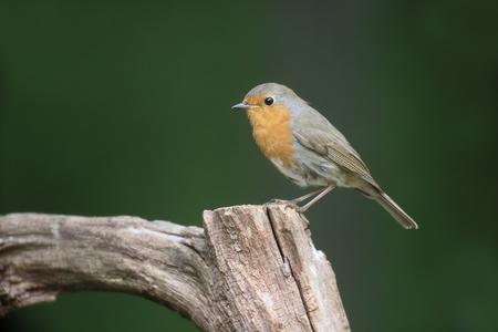 redbreast: Robin, Erithacus rubecula, single bird on perch, Hungary, May 2016