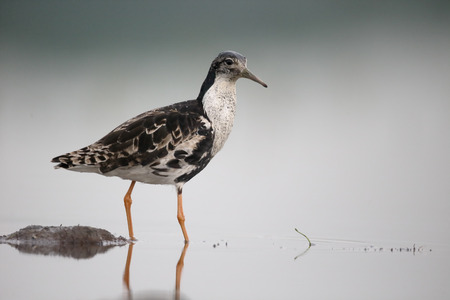 ruff: Ruff, Philomachus pugnax, single male in water, Hungary, May  2016