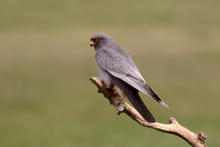 falco: Red-footed falcon, Falco vespertinus, single male on branch, Hungary, May 2016