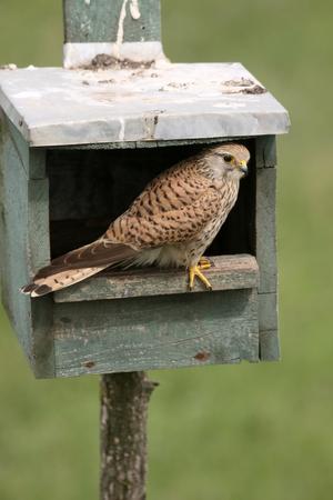 falco: Kestrel, Falco tinnunculus, single female in nest box, Hungary, May 2016 Stock Photo
