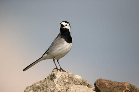 motacilla: White wagtail, Motacilla alba, single bird on rock, Hungary, May 2016