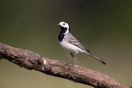 motacilla: White wagtail, Motacilla alba, single bird on branch, Hungary, May 2016