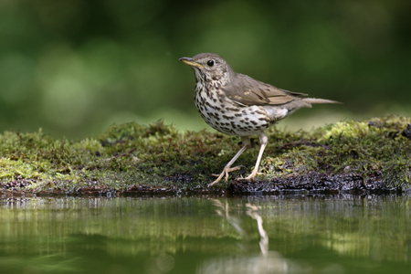 song bird: Song thrush, Turdus philomelos, single bird by water, Hungary, May 2016