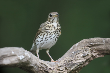 song bird: Song thrush, Turdus philomelos, single bird on branch, Hungary, May 2016