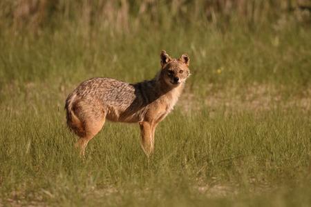 European jackal, Canis aureus moreoticus, Single mammal on grass, Romania, June 2016