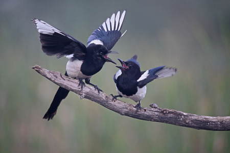pica: Magpie, Pica pica, two birds on branch displaying, Romania, June 2016 Stock Photo