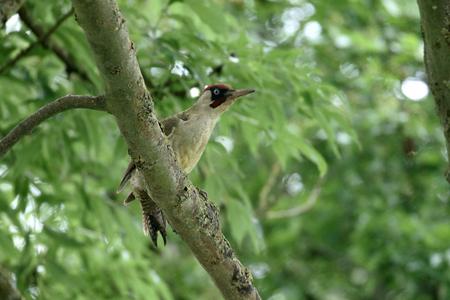 viridis: Green woodpecker, Picus viridis, single male on tree, Warwickshire, June 2016