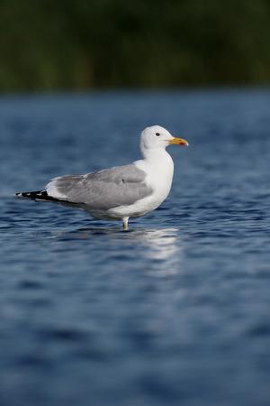 larus: Caspian gull, Larus cachinnans, single bird in water, Romania, June 2016