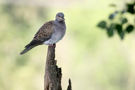 turtle dove: Turtle dove, Streptopelia turtur, single bird on branch,    Romania, June 2016