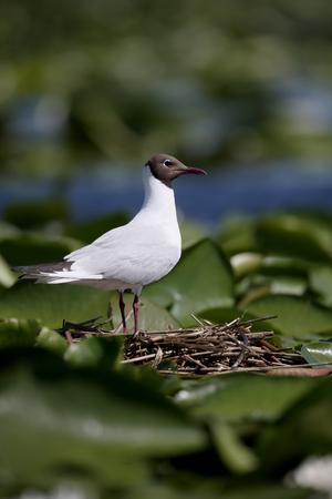ridibundus: Black-headed gull, Larus ridibundus, single bird on nest,          Romania, June 2016