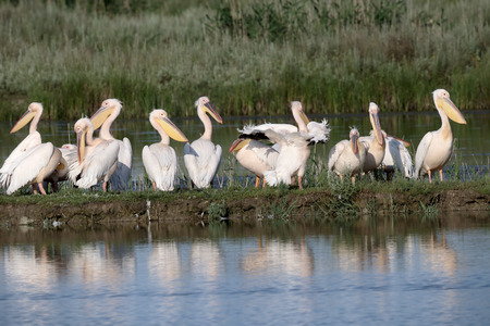 onocrotalus: Great white-pelican, Pelecanus onocrotalus, Group by water, Romania, June 2016