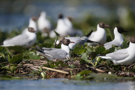 ridibundus: Black-headed gull, Larus ridibundus, colony at nests,          Romania, June 2016