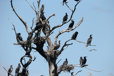 carbo: Great cormorant, Phalacrocorax carbo, Colony of birds in tree, Romania, June 2016
