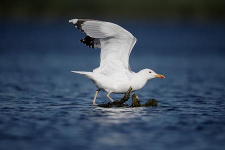 caspian: Caspian gull, Larus cachinnans, single bird on branch in water, Romania, June 2016