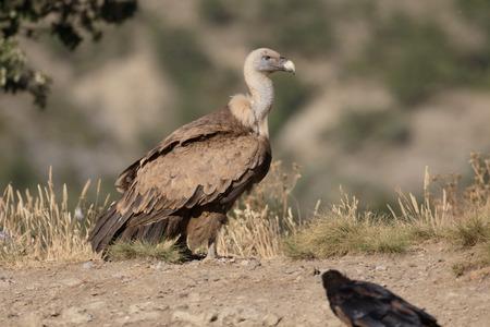 gyps: Griffon vulture, Gyps fulvus, single bird on ground, Spain, July 2016