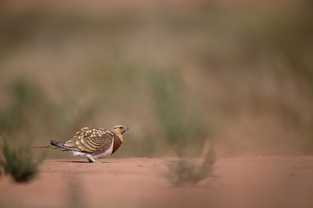 birds desert: Pin-tailed sandgrouse, Pterocles alchata, Single male on ground, Spain, July 2016
