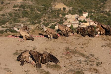 gyps: Griffon vulture, Gyps fulvus, Group of birds on floor, Spain, July 2016 Stock Photo