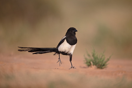 pica: Magpie, Pica pica, Single bird on ground, Spain, July 2016