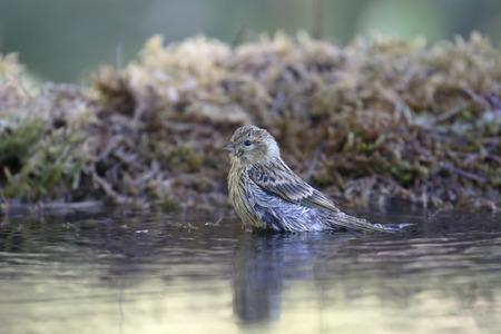finch: Citril finch, Serinus citrinella, Single bird by water, Spain, July 2016