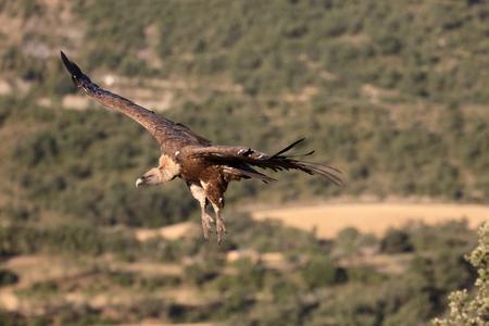 gyps: Griffon vulture, Gyps fulvus, single bird in flight, Spain, July 2016 Stock Photo