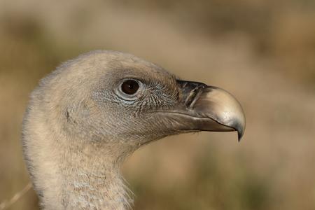 gyps: Griffon vulture, Gyps fulvus, single bird head shot, Spain, July 2016