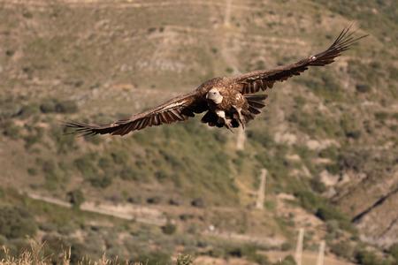 fulvus: Griffon vulture, Gyps fulvus, single bird in flight, Spain, July 2016 Stock Photo