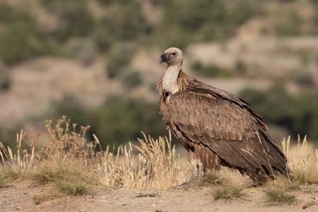 fulvus: Griffon vulture, Gyps fulvus, single bird on ground, Spain, July 2016
