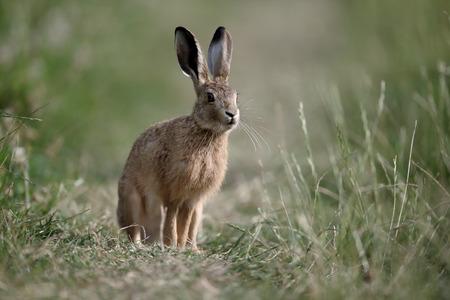 european rabbit: European brown hare, Lepus europaeus, single mammal on grass, Warwickshire, July 2016 Stock Photo