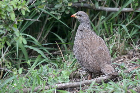 natal: Natal francolin, Pternistis natalensis, single bird, South Africa, August 2016 Stock Photo