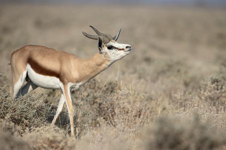 springbok: Springbok, Antidorcas marsupialis, single mammal, Namibia, August 2016