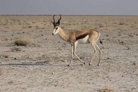 antidorcas: Springbok, Antidorcas marsupialis, single mammal, Namibia, August 2016