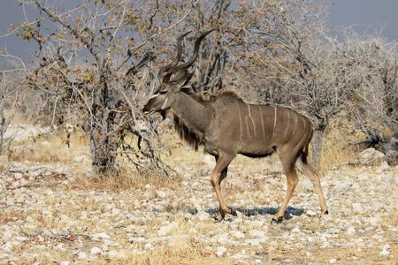 greater: Greater kudu, Tragelaphus strepsiceros, single male, South Africa