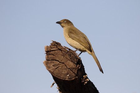 Sombre greenbul, Andropadus importunus, single bird on branch, South Africa