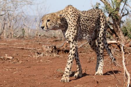 jubatus: Cheetah, Acinonyx jubatus, single cat, South Africa