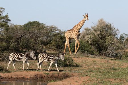 Giraffe, Giraffa camelopardalis, single mammal with plains zebra, Namibia Stock Photo